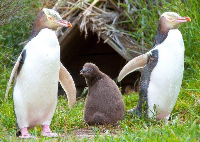 Gambar Nama Hewan Dari Huruf Y Yellow-Eyed Penguin