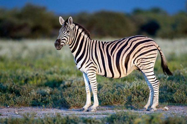 Gambar Nama Hewan Dari Huruf Z Zebra
