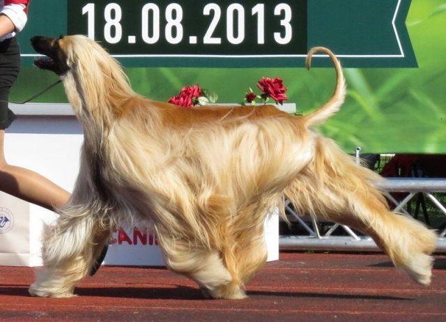 Jenis Anjing Afghan Hound