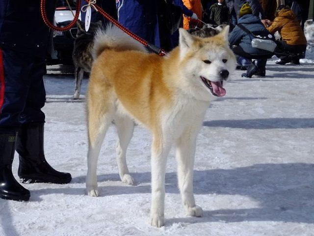 Jenis Anjing Akita