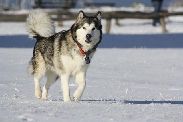 Jenis Anjing Alaskan Malamut