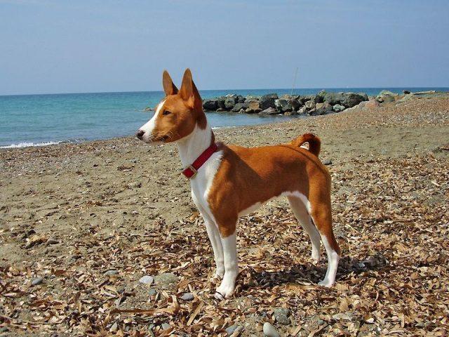 Jenis Anjing Basenji