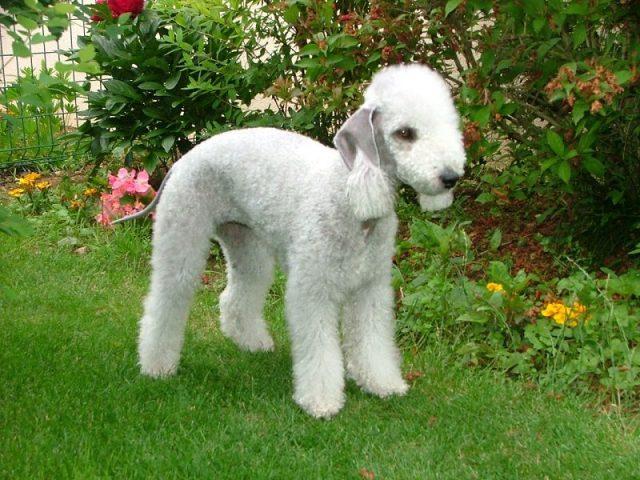 Jenis Anjing Bedlington Terrier