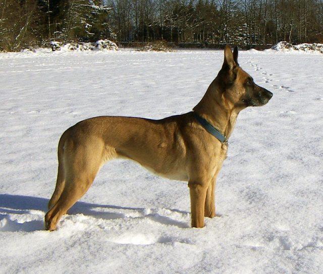 Jenis Anjing Belgian Malinois