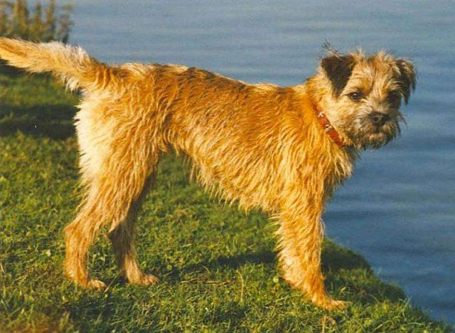 Jenis Anjing Border Terrier
