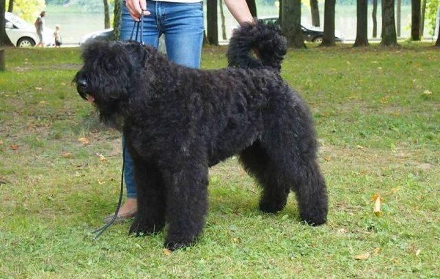 Jenis Anjing Bouvier des Flandres