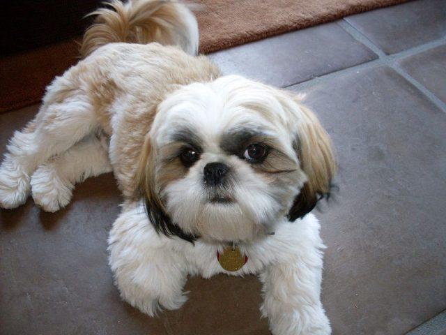 Jenis Anjing Shih-Tzu