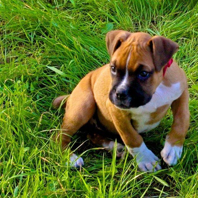 Jenis Anjing boxer