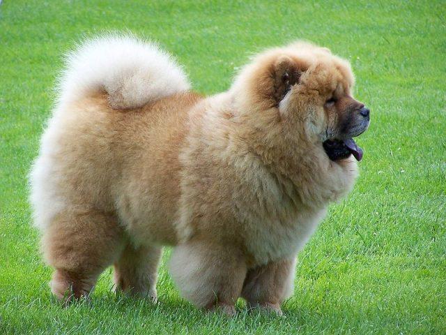 Chow-Chow - Jenis-Jenis Anjing Berbahaya