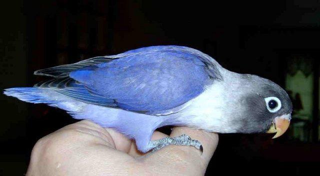 Gambar Lovebird Biru Mangsi Dan jenis burung lovebird dan harga terbaru