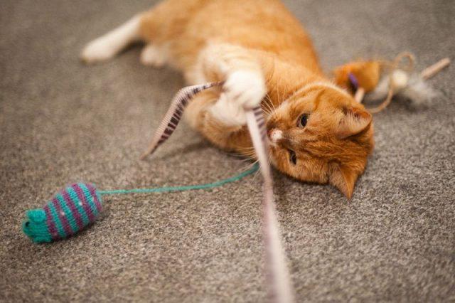 Gambar Mulailah Mengajak Kucing Liar Bermain