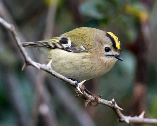 Gambar Jenis Burung Kecil Goldcrest