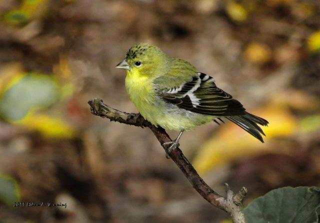 Gambar Jenis Burung Kecil Lesser goldfinch