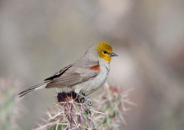 Gambar Jenis Burung Kecil Verdin
