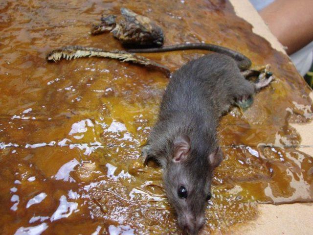 Gambar Cara Mengusir Tikus Dengan Cuka Dan Lem Tikus
