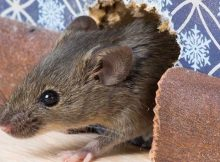 Gambar Cara Mengusir Tikus Dengan Cuka Kurang Efektif