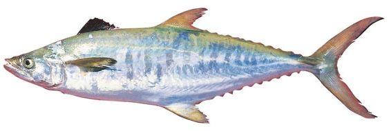 Gambar Ikan Tenggiri - Broadbarred king mackerel ( Scomberomorus semifasciatus )