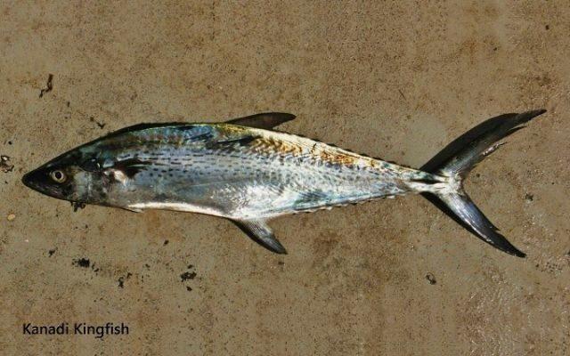 Gambar Ikan Tenggiri - Kanadi kingfish ( Scomberomorus plurilineatus )