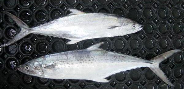 Gambar Ikan Tenggiri - Tenggiri India ( Scomberomorus lineolatus )