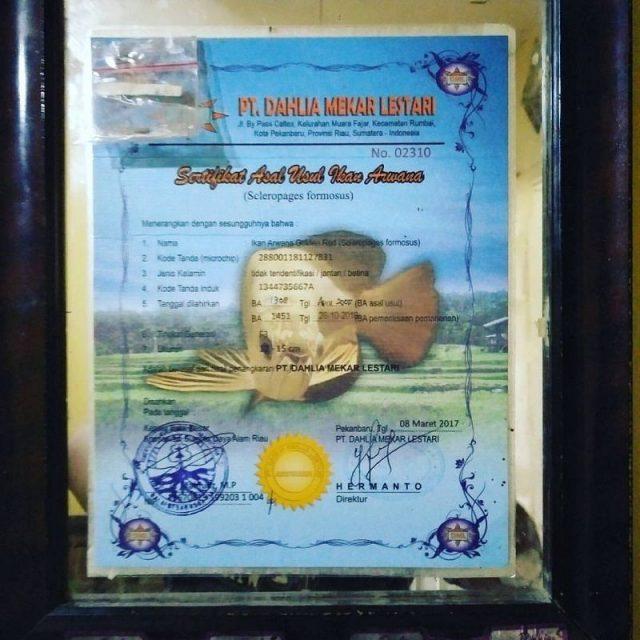 Gambar Harga Arwana Golden Red Anakan bersertifikat