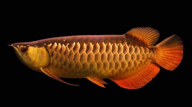 Gambar Harga Ikan Arwana Golden Red