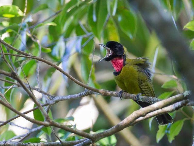 Gambar Burung Kecil Suara Keras Kancilan Flores atau Burung Amyong