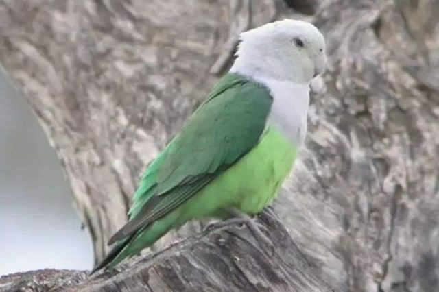 Gambar Jenis Burung Lovebird Termahal - Lovebird Madagaskar