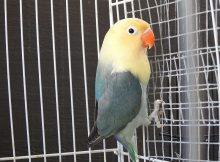 Gambar Jenis Burung Lovebird Termahal - Lovebird ParBlue