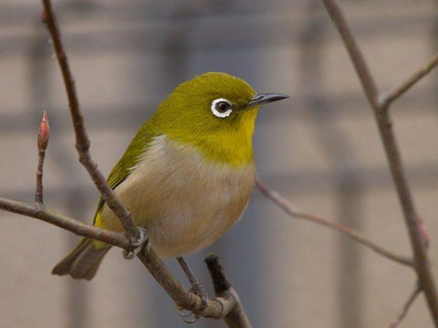 Gambar Nama Burung Kecil Pleci