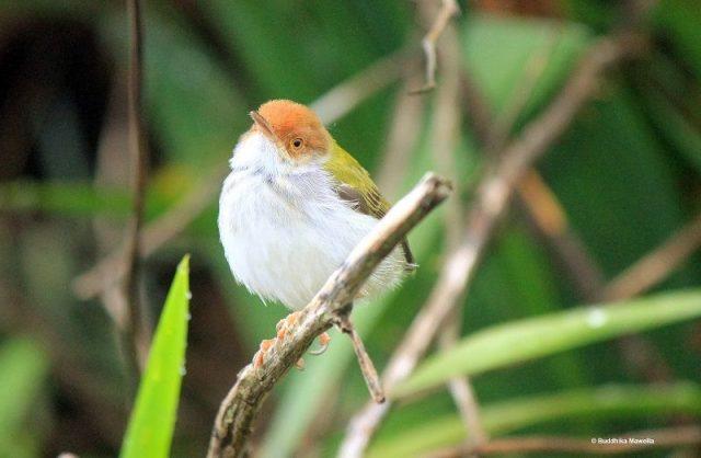 Gambar Burung Kecil Suara Keras Prenjak Kepala Merah