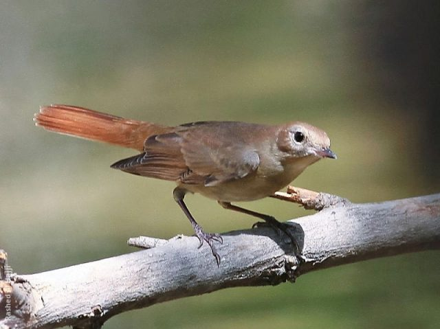 Gambar Burung Kecil Suara Keras Sikatan Londo