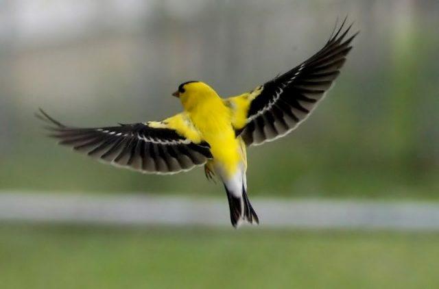 Gambar American Goldfinch Burung Termahal Di Dunia
