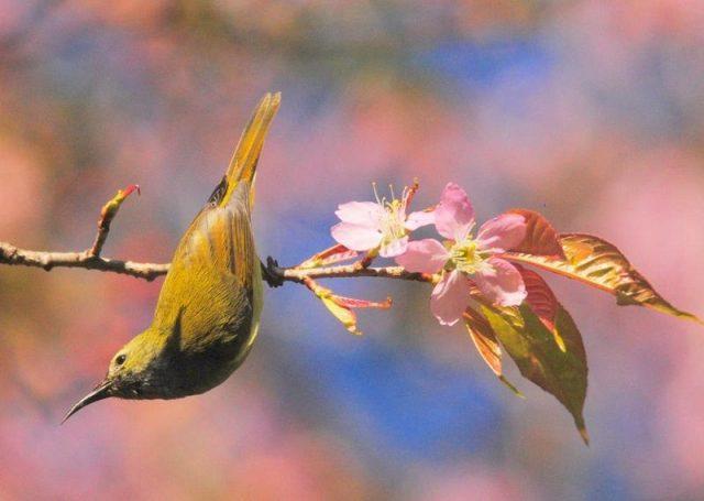 Burung Madu Ekor Api ( Fire-tailed sunbird ) Betina