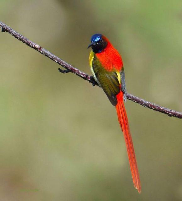 Burung Madu Ekor Api ( Fire-tailed sunbird ) Ekor Panjang