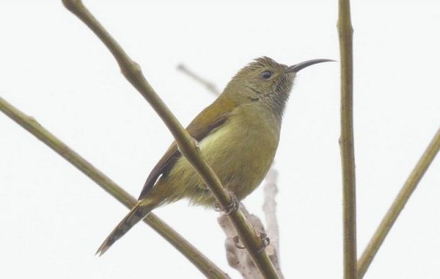 Burung Madu Ekor Api ( Fire-tailed sunbird ) Kelamin Betina