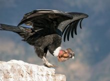 Gambar Burung Terbesar Di Dunia Andean condor (Vultur gryphus)