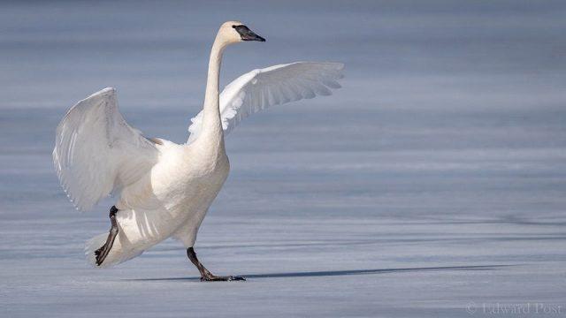 Gambar Burung Terbesar Di Dunia trumpeter swan (Cygnus buccinator)