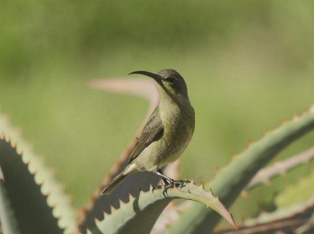 Gambar Burung malachite sunbird ( Nectarinia famosa ) betina