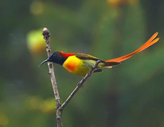 Gambar Burung Madu Ekor Api ( Fire-tailed sunbird )