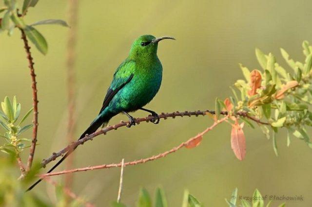 Gambar Burung malachite sunbird Ekor Panjang