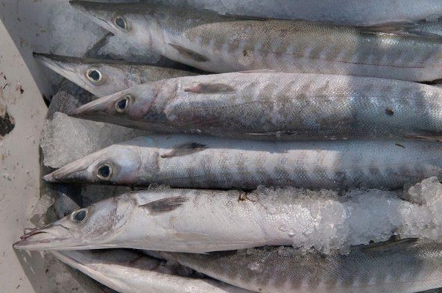 Gambar Harga Ikan Laut - Ikan Barakuda