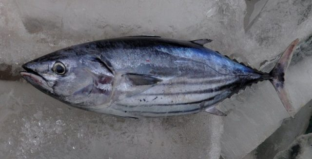 Gambar Harga Ikan Laut - Ikan Cakalang