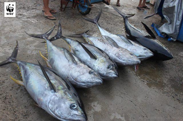 Gambar Harga Ikan Laut - Ikan Tuna Sirip Kuning