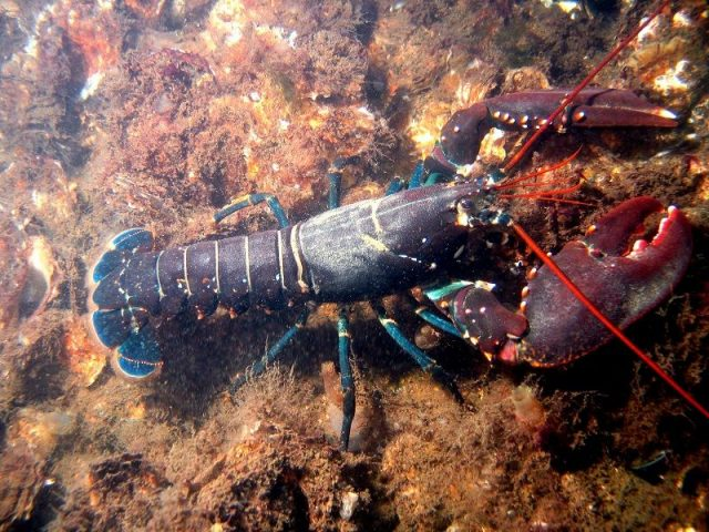 Gambar Harga Ikan Laut - Lobster