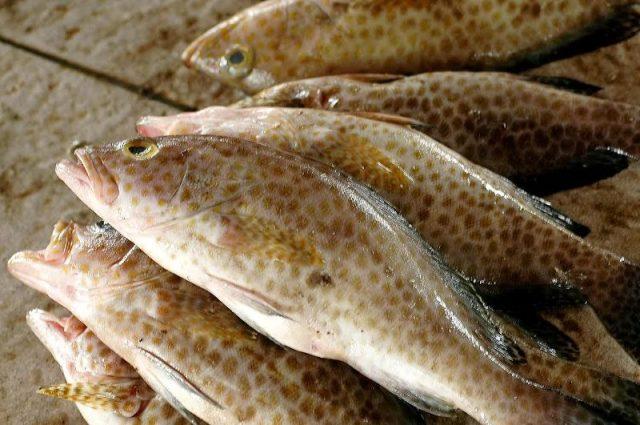 Gambar Harga Ikan Laut - Ikan Kerapu Tikus