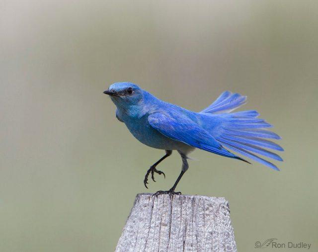 Gambar Mountain Bluebird Burung Termahal Di Dunia