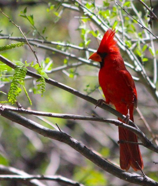 Gambar North Cardinal Burung Termahal Di Dunia