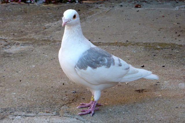 Gambar Racing Pigeons Burung Termahal Di Dunia