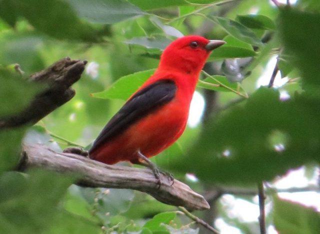 Gambar Northern Oriole Burung Termahal Di Dunia