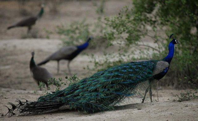 Gambar Burung Ekor Panjang Merak biru